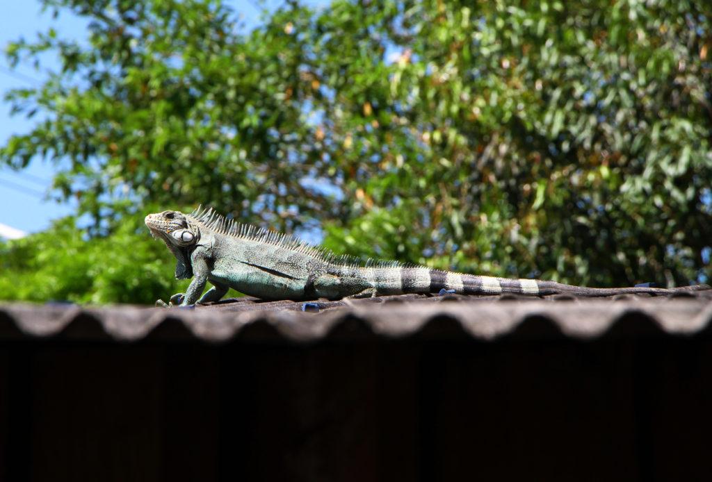 Iguana em cima de telhado com árvore ao fundo.
