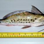 Uso Forense do Peixe Piracatinga