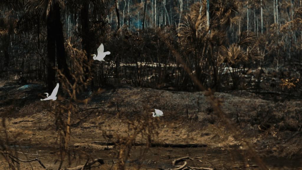 garças em área de floresta queimada no território munduruku no pará